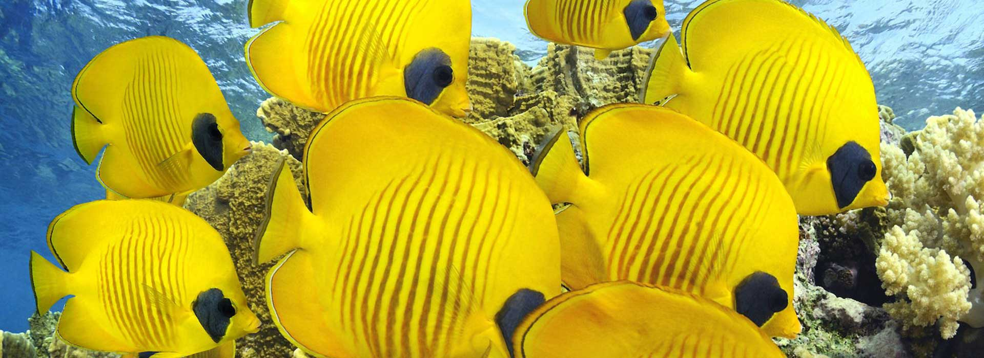 poissons-corail