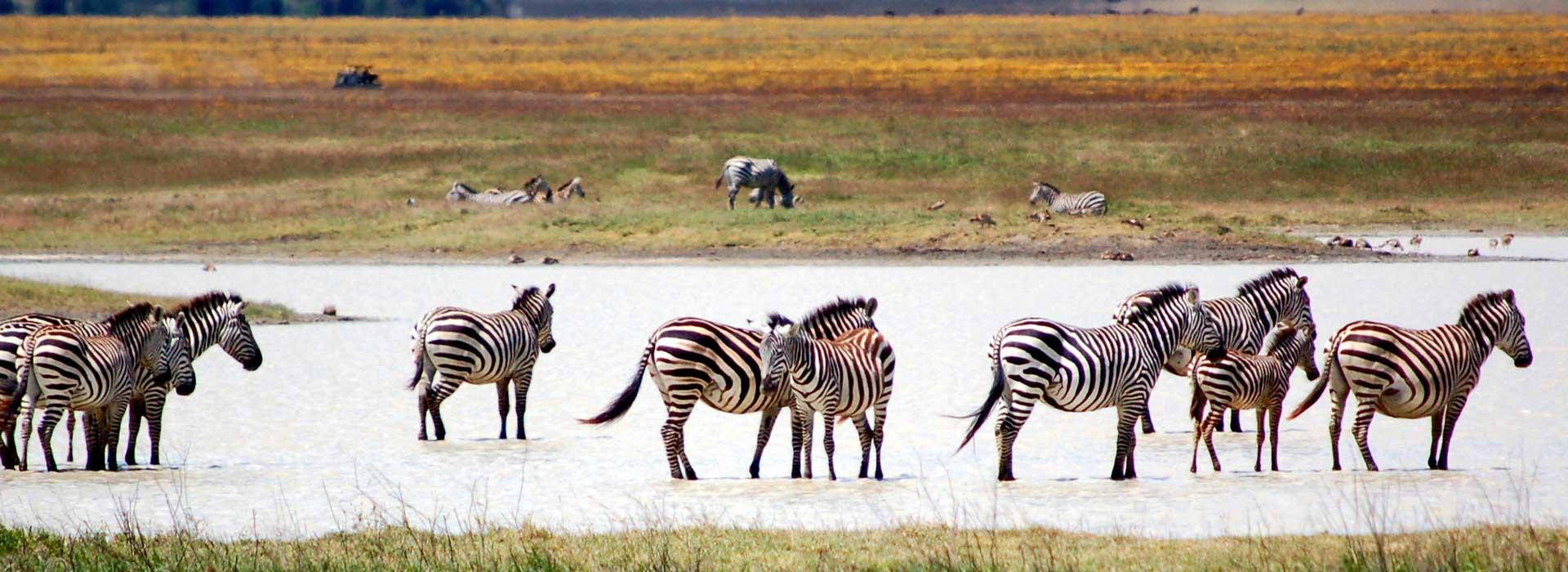 zébres safari tanzanie